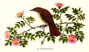 nightingale_shepheard